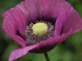 Opium Valmue