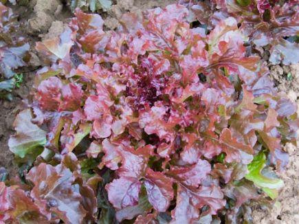 Red Salatbowl