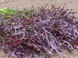 Salat-sennep Rouge metis